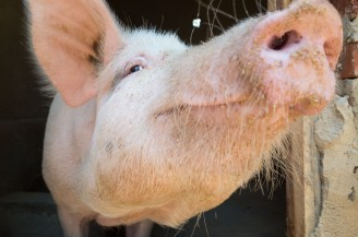 New piggery capacity can hold up to 100 pigs being raised in humane conditons