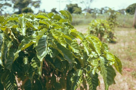 We're growing coffee!