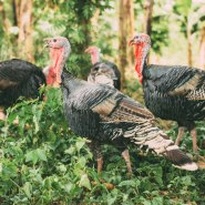 Some of our turkeys on the farmland